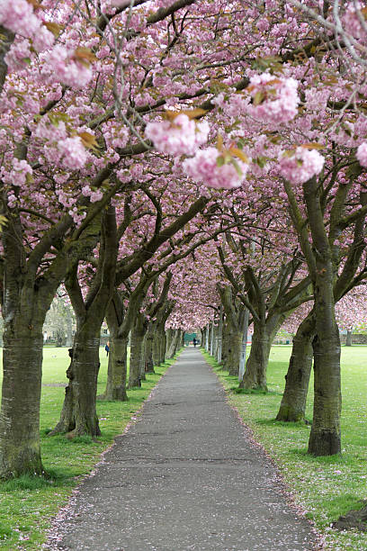 Cherry blossom at the meadows edinburgh stock photo