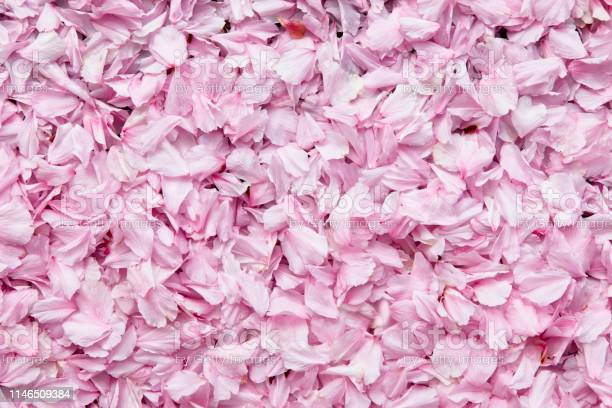 Cherry blossom background picture id1146509384?b=1&k=6&m=1146509384&s=612x612&h=ocedvvmf8ihl1topit8pjvjjk1xvuh rfxtp3yob9h4=