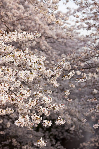 Cherry Blossom Background stock photo