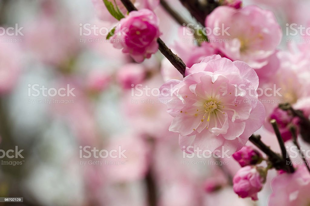 Cherry Blossom Background royalty-free stock photo