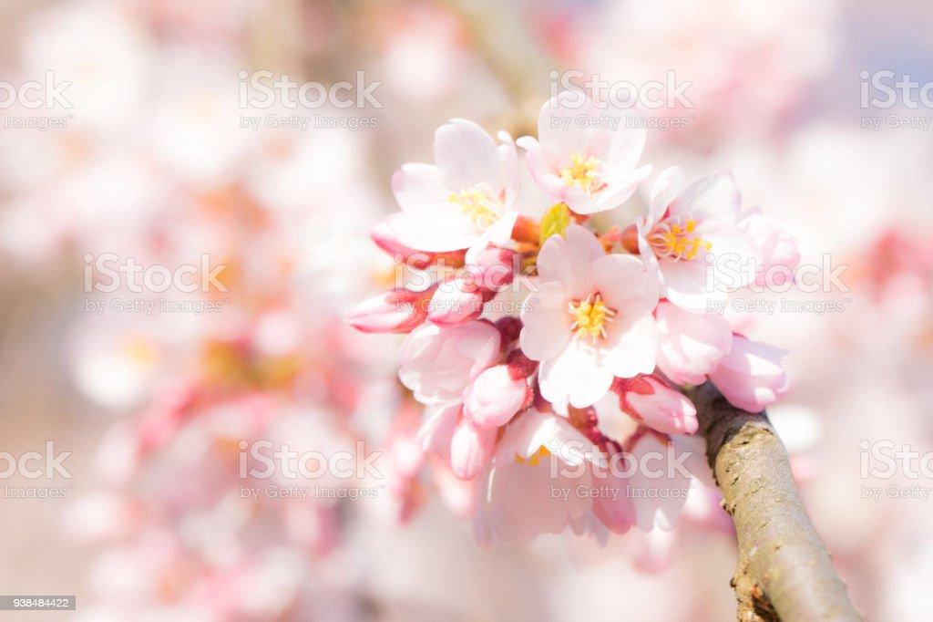 Cherry blossom blooming stock photo