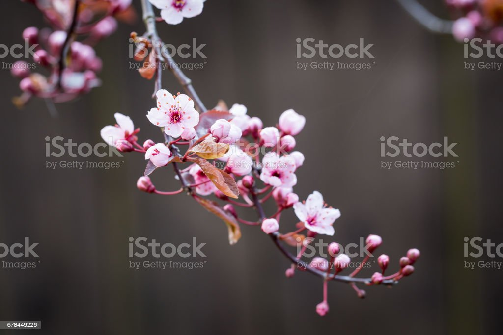 Cherry blossom branch in spring royalty-free stock photo