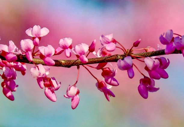 Cherry Blossom Branch with colorful background stock photo