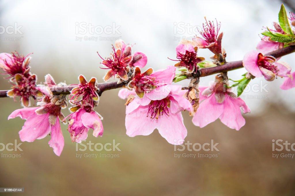 Fiori Di Ciliegio.Cherry Blossom Fiori Di Ciliegio Stock Photo Download Image Now