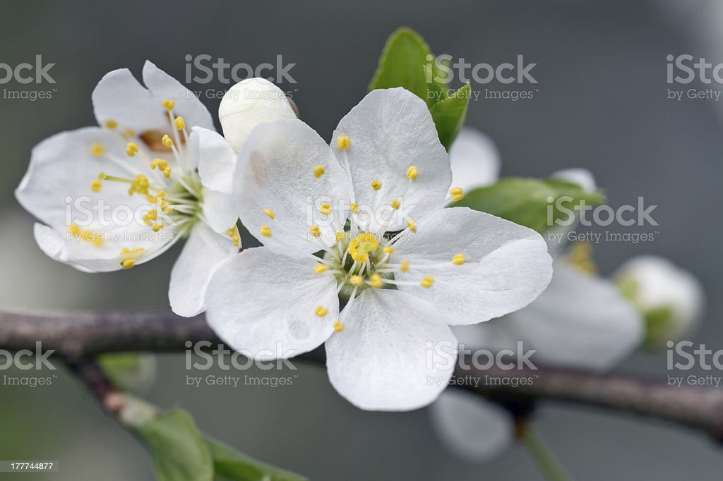 Cherry blossom close-up stock photo