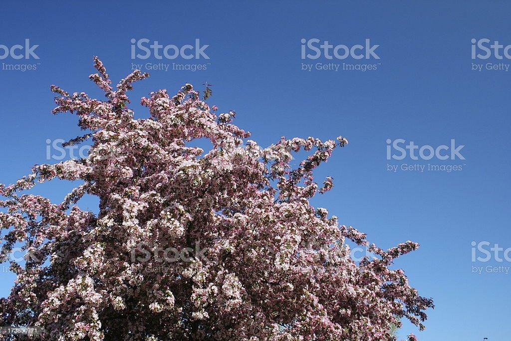 Cherry Blossom Explodes into a Blue Sky royalty-free stock photo