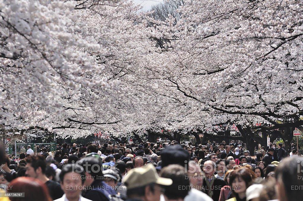 Cherry blossom festival in Tokyo royalty-free stock photo