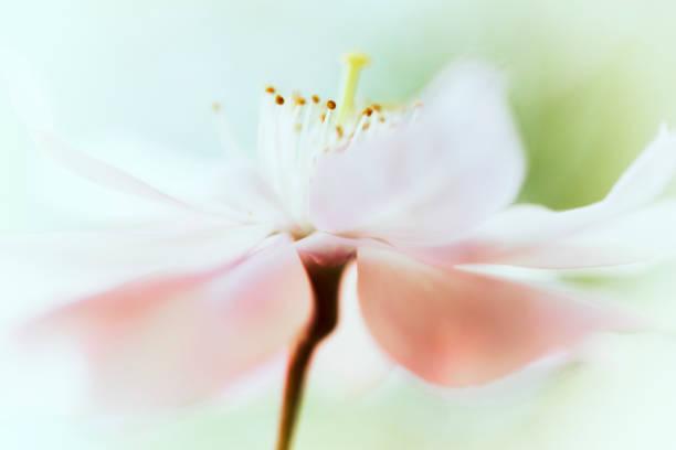 Cherry blossom flowerhead picture id1083302980?b=1&k=6&m=1083302980&s=612x612&w=0&h=ehpioawjkit t kzjk0j4hjolbfcdcbb5nfbrmgrzpk=