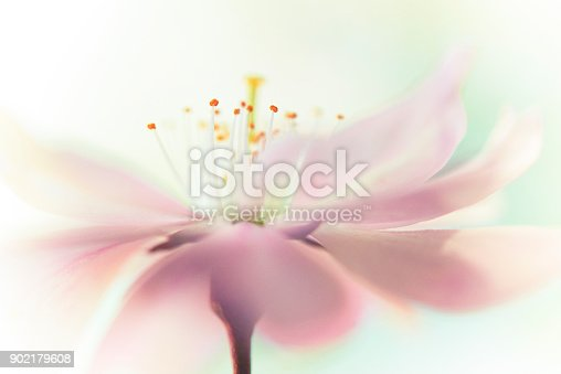 Cherry blossom with pastel background from sweden nature