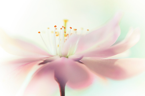 Cherry blossom flowerhead