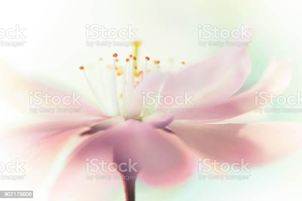 Cherry blossom flowerhead picture id902179608?b=1&k=6&m=902179608&s=612x612&h=5v1qwzdjmvahqeri0hcemz2s86svzt5wivpdobqwaoc=