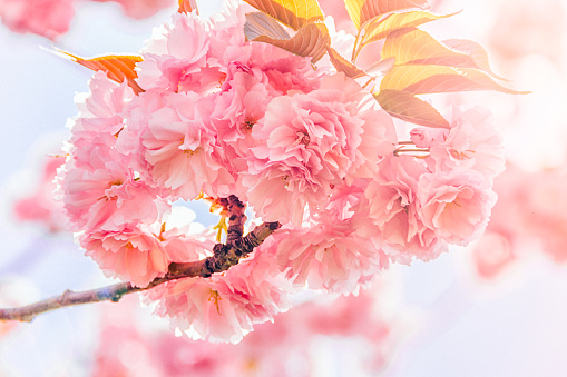 Cherry tree blossom flowers at spring over natural sun and clouds background