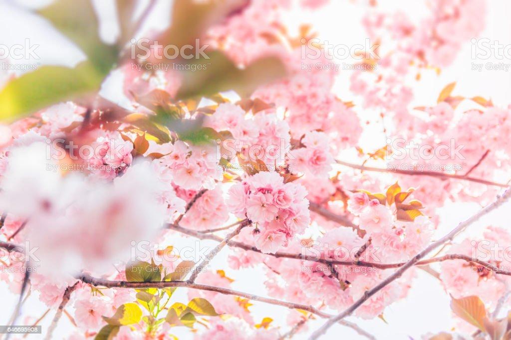 Cerezos en flor flores y sol - foto de stock