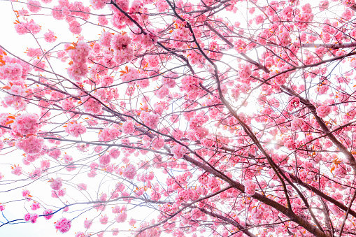 Pink cherry tree blossom flowers at spring over natural background