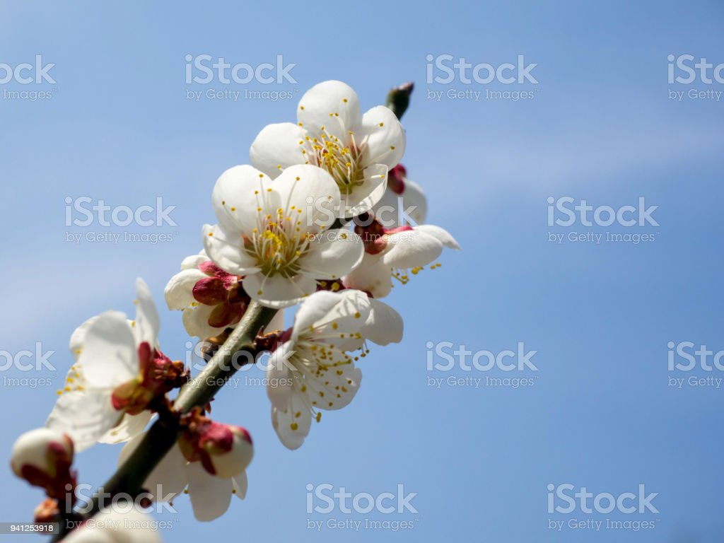 Cherry Blossom Flowers At Early Spring Stock Photo More Pictures