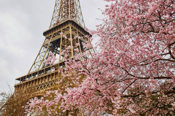 fleurs de cerisiers en fleurs avec la tour eiffel à paris - paysage mois de mars photos et images de collection