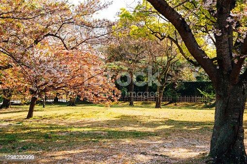 istock Cherry blossom forest in Takamatsu, Japan 1298230999