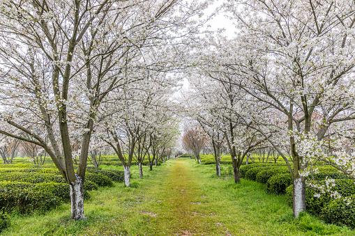 Cherry blossom garden and tea garden