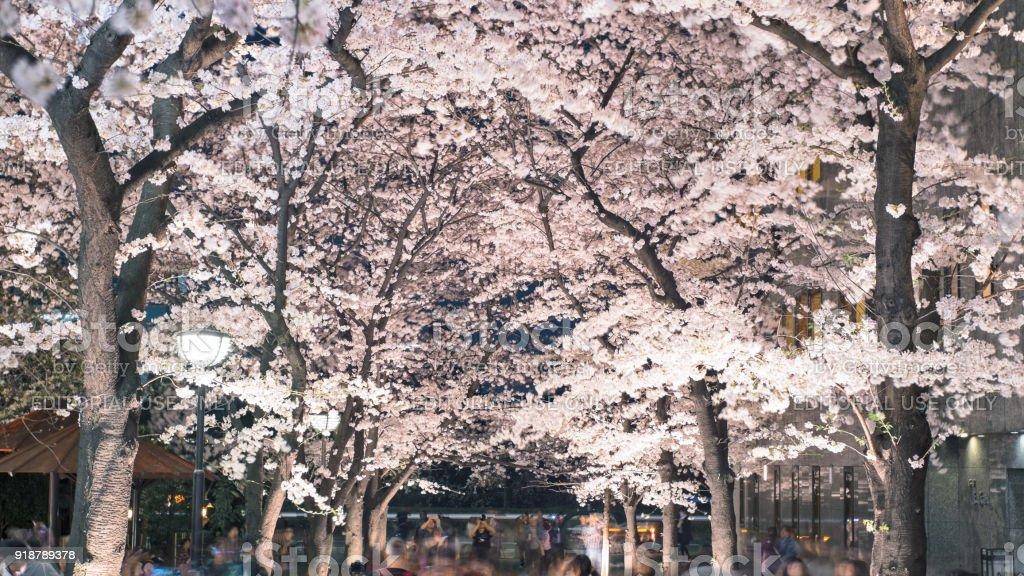 Cherry Blossom illuminated night view. stock photo