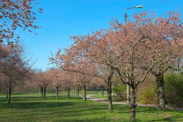 Kirschblüte auf einer Wiese – Foto