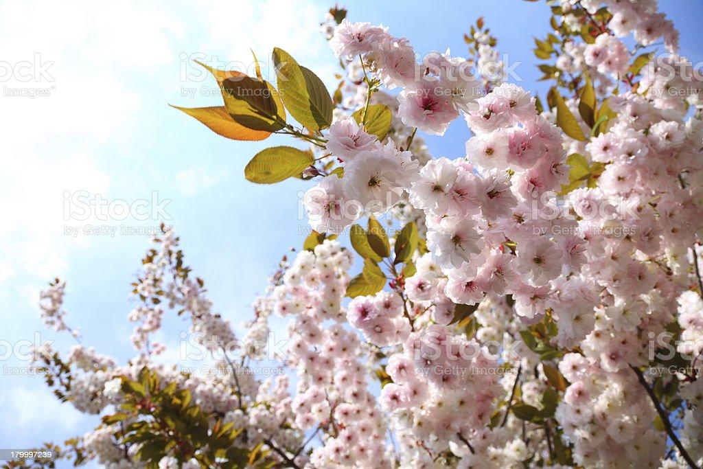 벚꽃 in blue sky royalty-free 스톡 사진