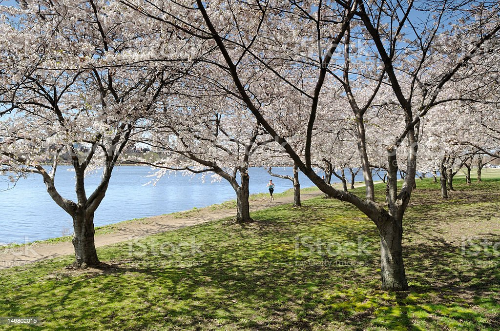 Cherry Blossom in Early Spring stock photo