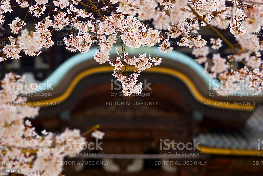 Cherry blossom in front of Todai Temple, Nara, Japan stock photo