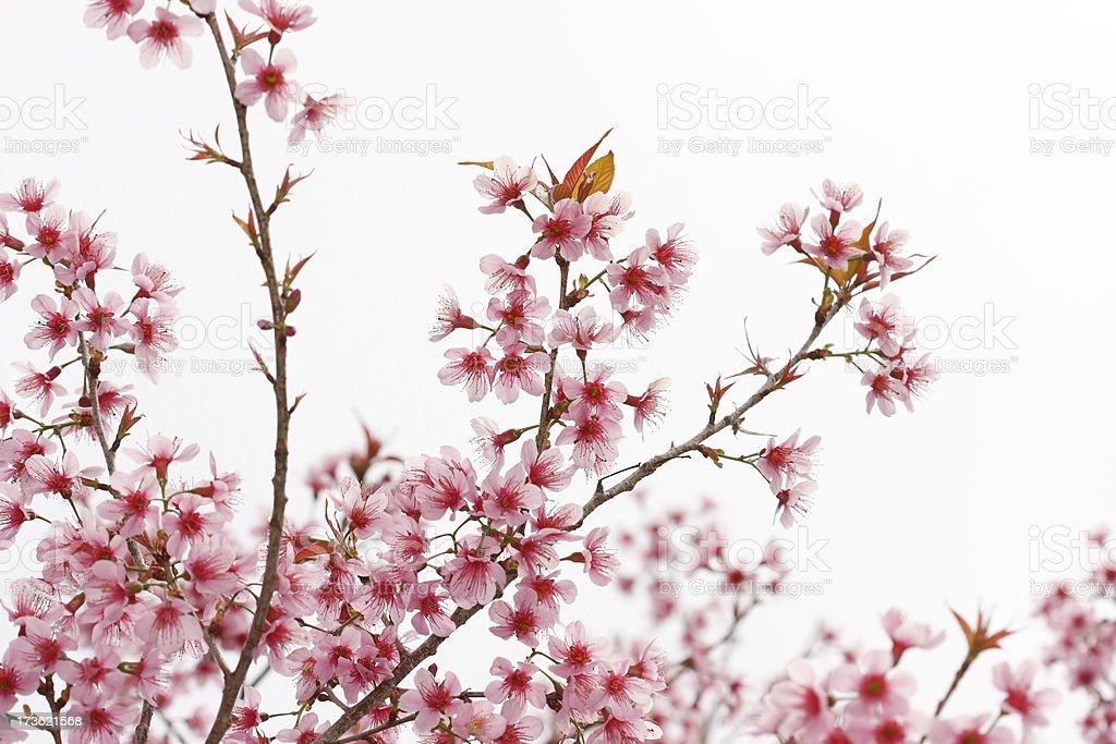 Cherry Blossom in full bloom stock photo