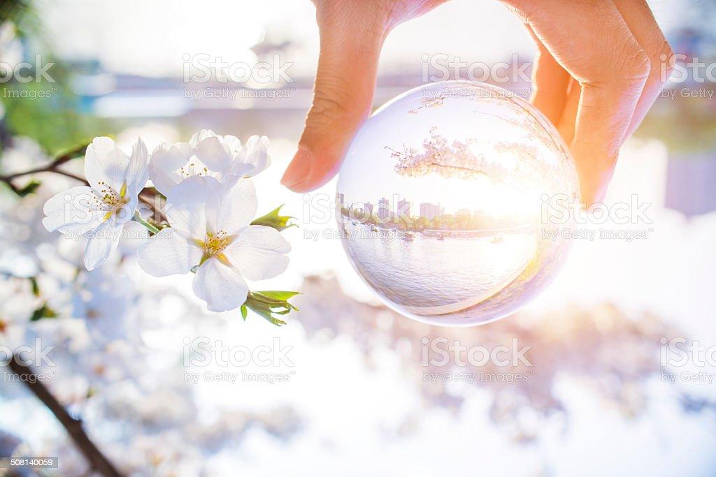 Cherry Blossom in glassball stock photo
