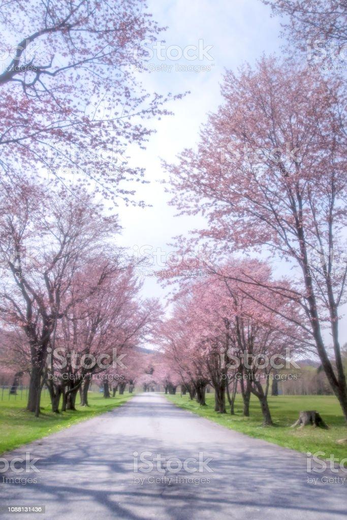 北海道の桜。 ストックフォト