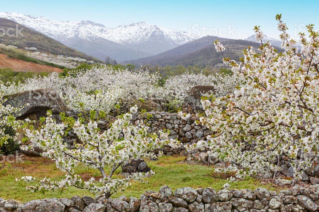 Kirschblüte im Jerte-Tal, Caceres. Frühling in Spanien – Foto