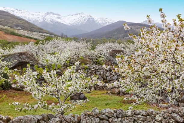 cherry blossom in jerte valley, caceres. spring in spain - dolina zdjęcia i obrazy z banku zdjęć
