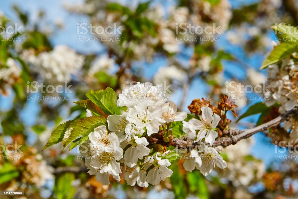 Cherry blossom in Jerte Valley, Caceres. Spring in Spain royalty-free stock photo