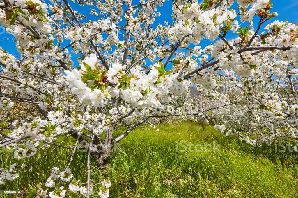 櫻桃花在 Jerte 山谷, 卡塞雷斯。春天在西班牙 - 免版稅傳統圖庫照片