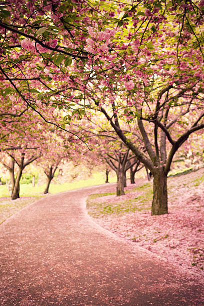 cherry blossom in newyork - blossom stock pictures, royalty-free photos & images
