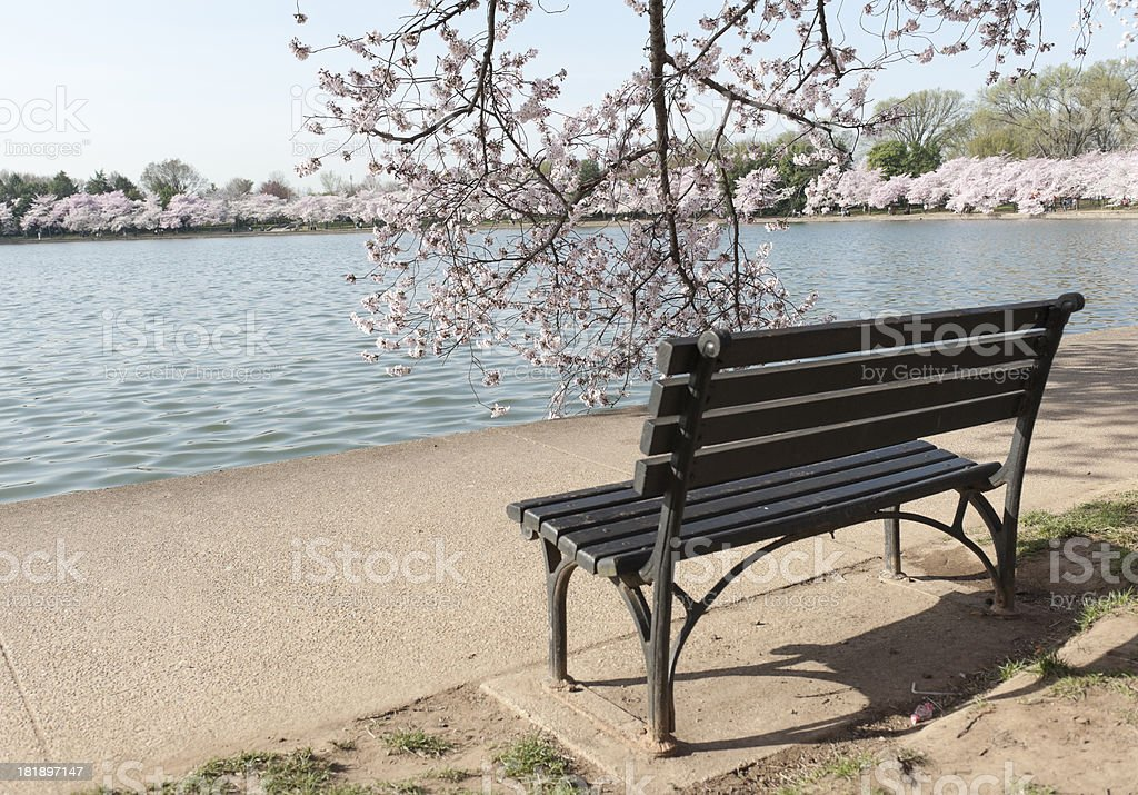 cherry blossom in spring at tidal basin, washington royalty-free stock photo