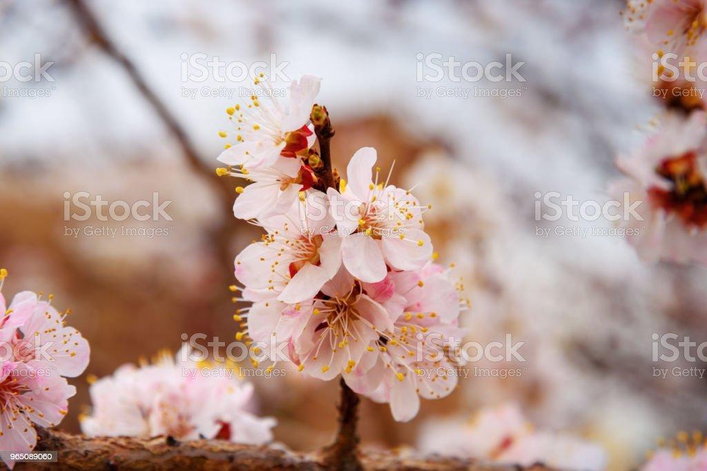 Cherry Blossom in spring in Iran zbiór zdjęć royalty-free