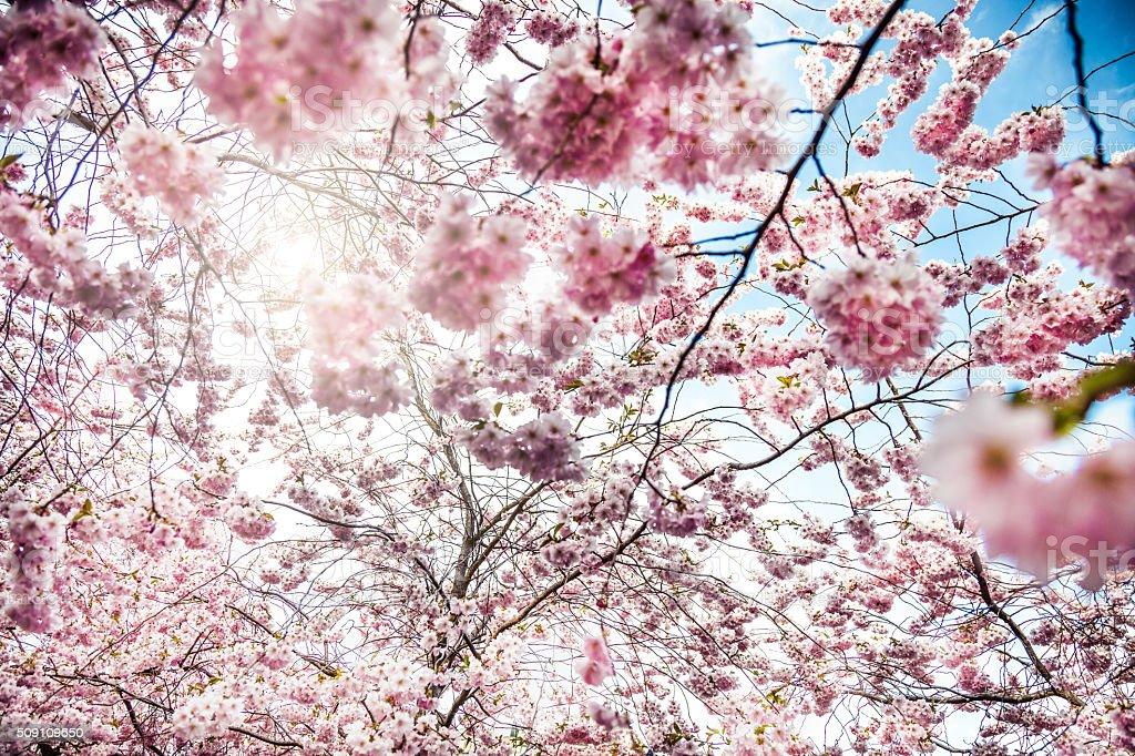 Cherry blossom in spring in Kungsträdgården - Stockholm stock photo