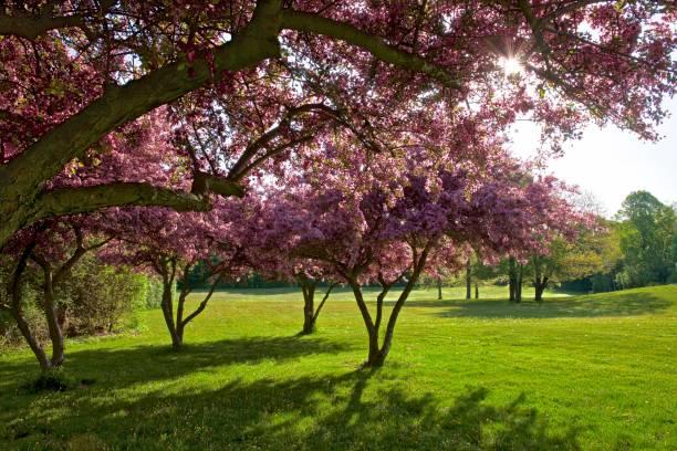 cherry blossom in spring in Toronto stock photo