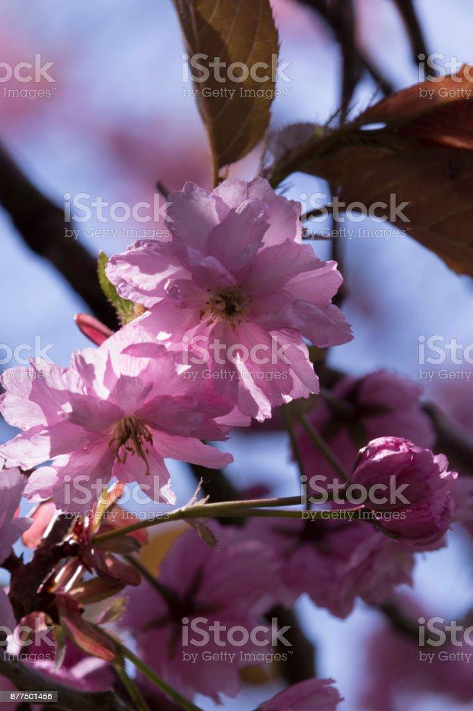 Flor de cerejeira na primavera - foto de acervo