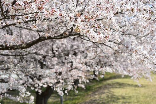 Sakura, Someiyoshino