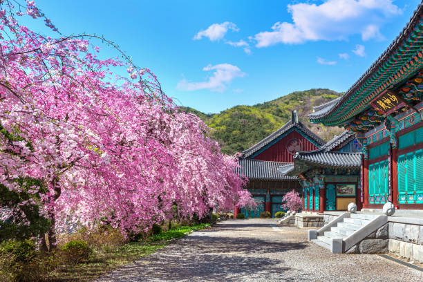 cherry blossom in spring, south korea. - jeju island stock photos and pictures
