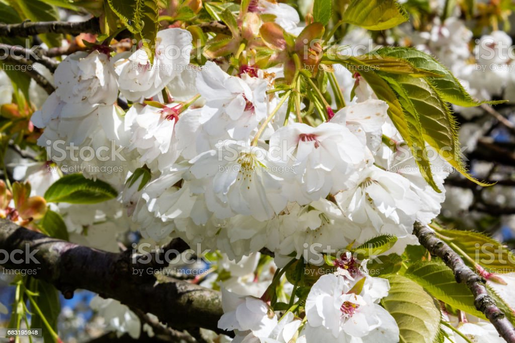 Cherry blossom in Spring time royalty-free 스톡 사진