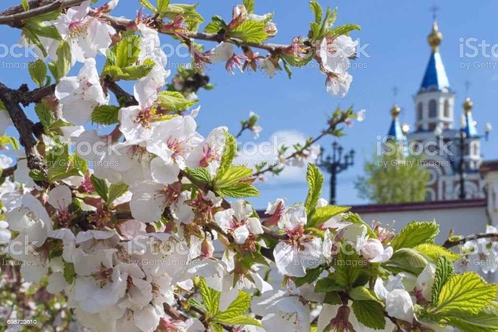 Kirschblüte in der Stadt. – Foto