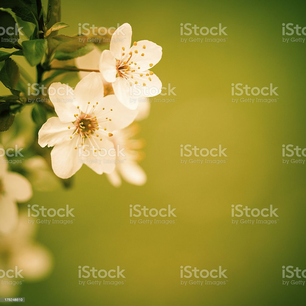 cherry blossom in the spring royalty-free stock photo