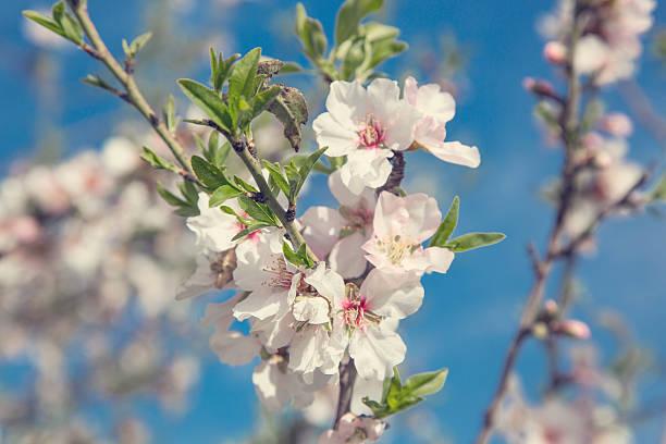 Kirschblüte im Frühling – Foto