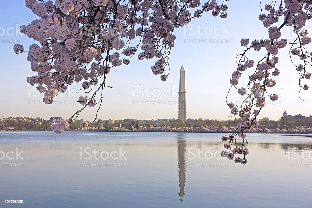 Cherry blossom in view of Washington Monument royalty-free stock photo