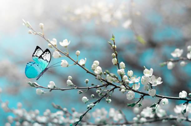 cherry blossom in wild and butterfly. springtime - farfalla ramo foto e immagini stock