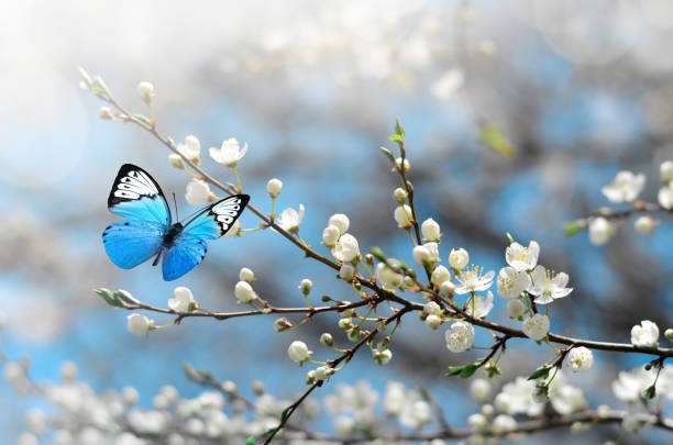 cherry blossom in wild and butterfly. springtime - flowers stock pictures, royalty-free photos & images