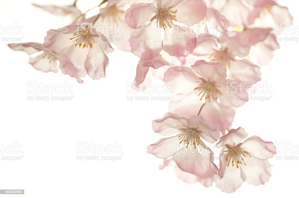 Cherry blossom isolated on white royalty-free stock photo